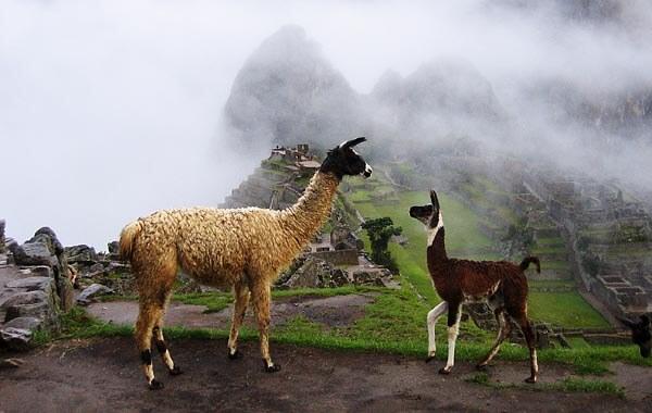 Llamas at Maccu Picchu
