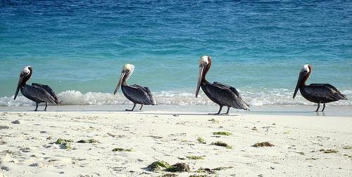Pelicans in Los Roques archipelago, Venezuela