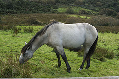 A pony in Connemara National Park