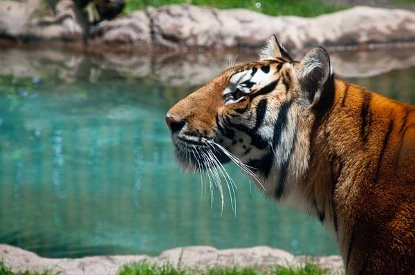 Tiger by a pond in Busch Gardens Zoo, Tampa