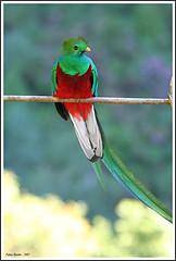 A Resplendent Quetzal