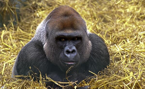 A gorilla at Howletts Animal Park in Bekesbourne