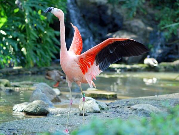 Flamingo at the Los Angeles Zoo