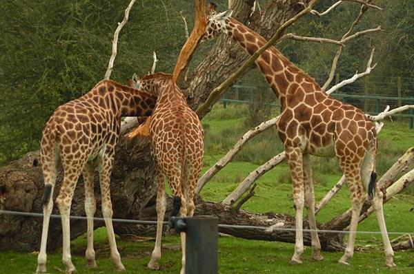 Giraffes in Port Lympne Wild Animal Park