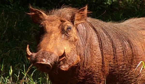 Warthog in Kenya's Nairobi National Park