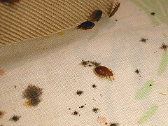 Bed bugs on sheet with fecal stains