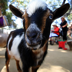 Goat at Orange County Zoo