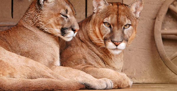 Mountain lions at Orange County Zoo