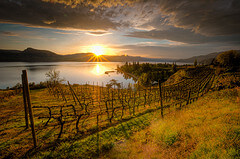 Vineyard in Okanagan Valley
