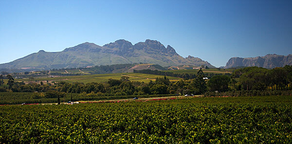 Rows of wine in South Africa