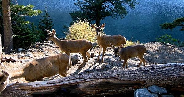 Deer in the Trinity Alps Wilderness
