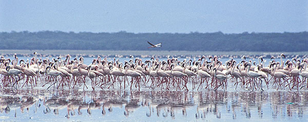 Flamingos at Kenya's Lake Bogoria National Park