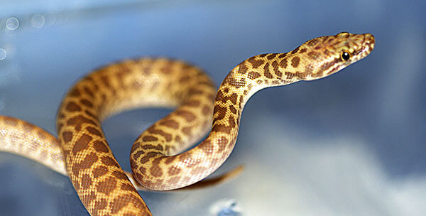 Yellow snake on blue background