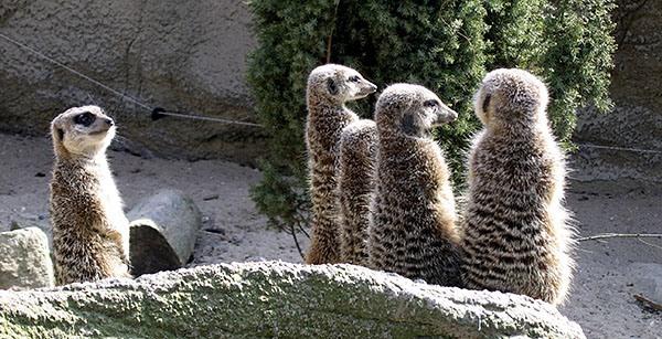 Meerkats at Rotterdam Zoo
