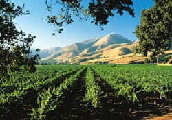Vineyard in Santa Ynez Valley, California