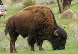 Buffalo in an American state park
