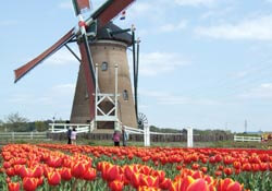 Wind mills and tulips near Amsterdam