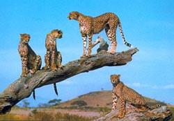 Leopards in Kenya