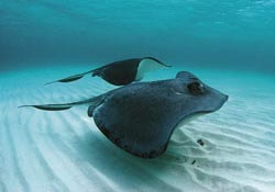 View stingrays in the Cayman Islands