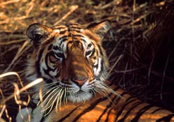 Tiger tracking in India