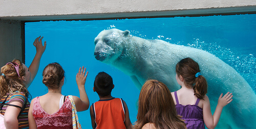 A polar bear at Lincoln Park Zoo in Chicago