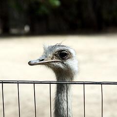 Ostrich at Santa Ana Zoo