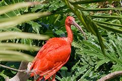 A red ibis at Santa Ana Zoo