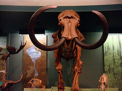 Wolly Mammoth Skeleton