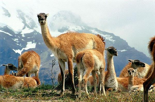 Guanacos in the Torres del Paine national park
