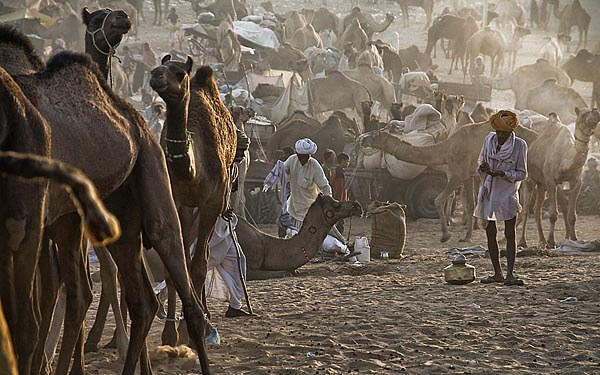 Camels at the Pushkar Fair in Rajastan