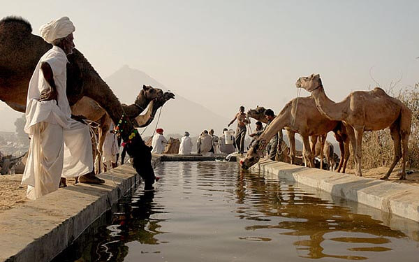 Camel watering hole at the Pushkar Camel Fair, India