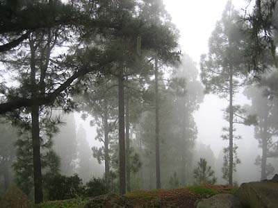 Fog in the forest on Pico del Teide